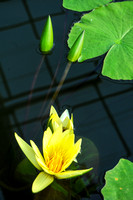 Water Lily Emerging